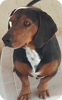 Dachshund Dog for adoption in Las Vegas, Nevada - Thunder