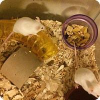 Adopt A Pet :: Rowena - Ann Arbor, MI