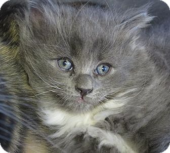 Domestic Longhair Kitten for adoption in Chino Valley, Arizona - Blue
