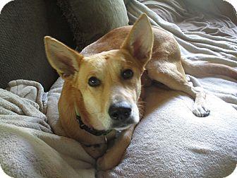 German Shepherd Dog/Labrador Retriever Mix Dog for adoption in Columbus, Ohio - A - BAILEY