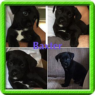 Boston Terrier/Miniature Pinscher Mix Puppy for adoption in Fishkill, New York - BAXTER