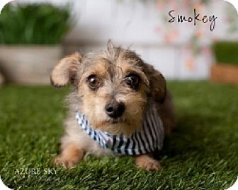 Chihuahua/Terrier (Unknown Type, Small) Mix Dog for adoption in Mesa, Arizona - Smokey