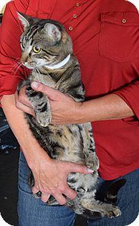 Domestic Shorthair Cat for adoption in Surrey, British Columbia - Jaguar