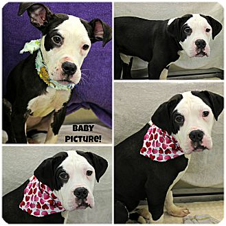 Bulldog/Boxer Mix Dog for adoption in Forked River, New Jersey - Milkshake