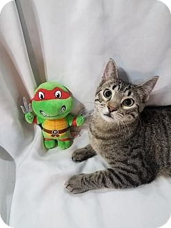 Domestic Shorthair Cat for adoption in Edmond, Oklahoma - Raphael
