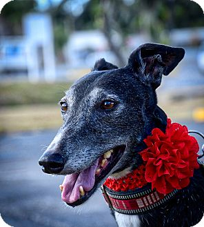 Greyhound Dog for adoption in Sarasota, Florida - M's Freeway