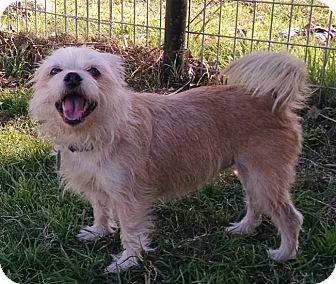 Shih Tzu Mix Dog for adoption in Cat Spring, Texas - Keeley