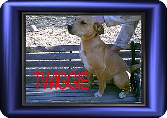 Labrador Retriever/Terrier (Unknown Type, Medium) Mix Dog for adoption in Cushing, Oklahoma - x TWIGGIE adopted