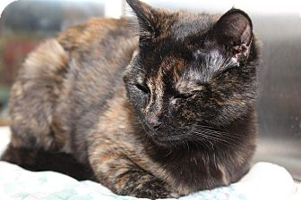 Domestic Shorthair Kitten for adoption in Media, Pennsylvania - Cleo