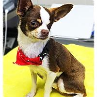 Adopt A Pet :: Jack Sparrow - Los Alamitos, CA