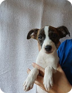 Rat Terrier/Jack Russell Terrier Mix Puppy for adoption in Oviedo, Florida - Jelly