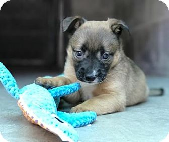 Mixed Breed (Large)/Shepherd (Unknown Type) Mix Puppy for adoption in Lathrop, California - Salsa