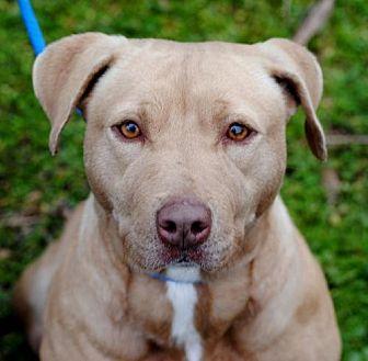 Pit Bull Terrier Dog for adoption in Anniston, Alabama - Renata