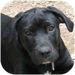 Labrador Retriever Mix Puppy for adoption in Pittsboro/Durham, North Carolina - Graham