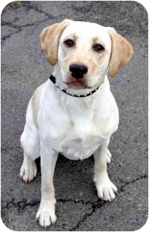 Labrador Retriever Puppy for adoption in Phoenix, Oregon - Lulu