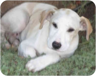 Vizsla/Whippet Mix Puppy for adoption in Poway, California - Silk