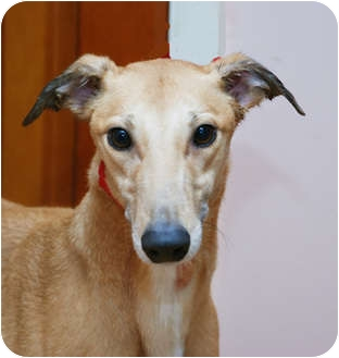 Greyhound Dog for adoption in Ware, Massachusetts - Marsha