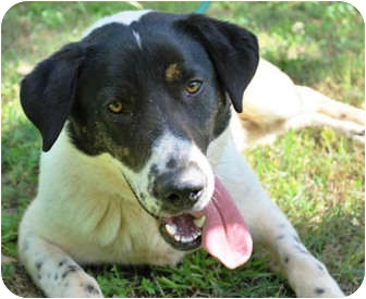 Dalmatian/Labrador Retriever Mix Dog for adoption in Pawling, New York - CHATHAM