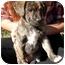Photo 1 - Labrador Retriever Mix Puppy for adoption in Thomaston, Georgia - Syd