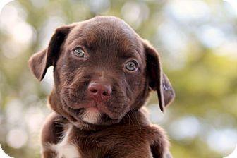 Border Collie/Australian Shepherd Mix Puppy for adoption in Austin, Texas - Rufus (Barq's)