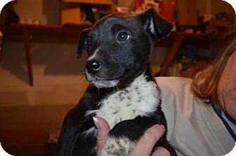 Australian Cattle Dog Mix Puppy for adoption in Westminster, Colorado - Ella