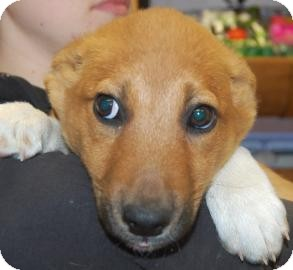 Shepherd (Unknown Type)/Border Collie Mix Puppy for adoption in Brooklyn, New York - Skippy