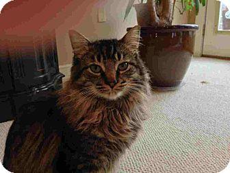 Domestic Longhair Cat for adoption in Fairborn, Ohio - Mr. Longhair-URGENT!