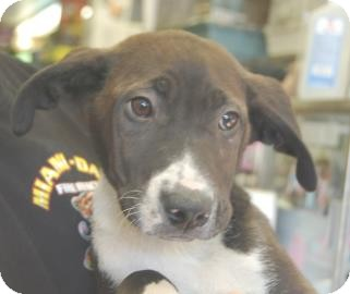 Labrador Retriever/Retriever (Unknown Type) Mix Puppy for adoption in Brooklyn, New York - Sandy