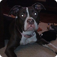 Adopt A Pet :: Cherry - North Wales, PA