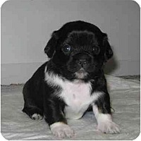 Adopt A Pet :: Joy - Chandler, IN
