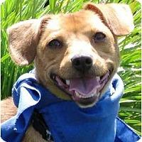 Adopt A Pet :: Dudley - Encinitas, CA