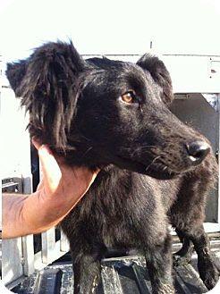 Collie Mix Dog for adoption in Shelter Island, New York - Sabbath