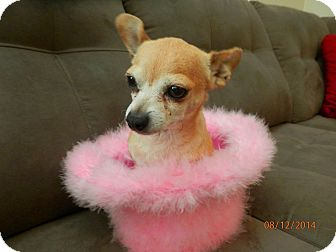 Chihuahua Mix Dog for adoption in Vancouver, British Columbia - Belvedere