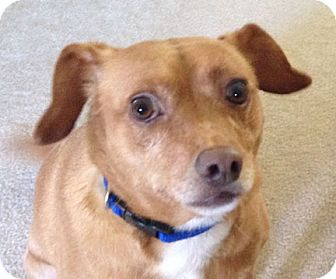 Dachshund/Chihuahua Mix Dog for adoption in Bellflower, California - Max and Millie