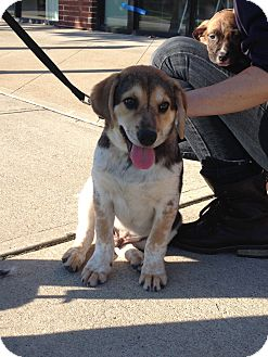 Beagle Mix Puppy for adoption in Englewood, New Jersey - Chase