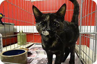Domestic Shorthair Kitten for adoption in Elyria, Ohio - Flower