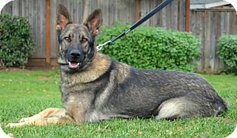 German Shepherd Dog Dog for adoption in Modesto, California - Kamira