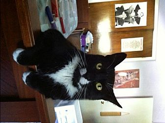 Domestic Shorthair Cat for adoption in New City, New York - Mickey