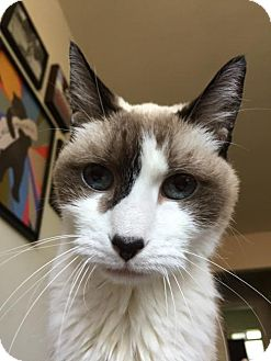 Snowshoe Cat for adoption in Los Angeles, California - Willow