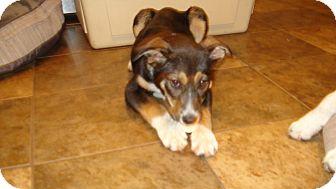 German Shepherd Dog/Husky Mix Puppy for adoption in Lincoln, Nebraska - Cinnamon (Cinny)