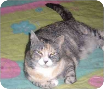 Domestic Shorthair Cat for adoption in Bedford, Massachusetts - Louise