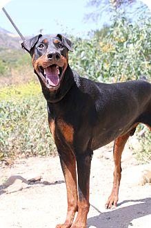 Doberman Pinscher Dog for adoption in Fillmore, California - Duncan