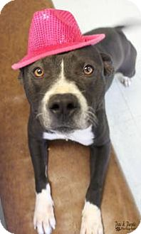 American Staffordshire Terrier Mix Dog for adoption in Yukon, Oklahoma - Kinsley