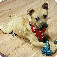 Black Mouth Cur/Labrador Retriever Mix Puppy for adoption in Sturbridge, Massachusetts - Trixie