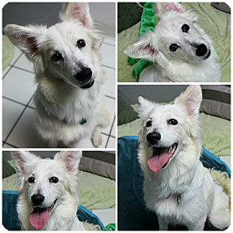 American Eskimo Dog Mix Dog for adoption in Forked River, New Jersey - Cheyanne