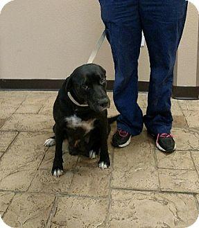 Labrador Retriever Dog for adoption in Oviedo, Florida - Beauty