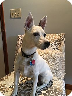 Jack Russell Terrier Dog for adoption in Blue Bell, Pennsylvania - Spot