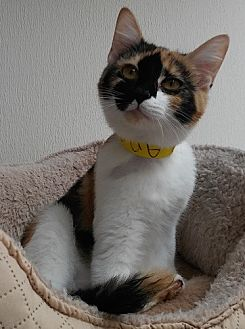 Domestic Shorthair Cat for adoption in Dallas, Texas - ANNA