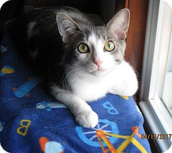Domestic Shorthair Kitten for adoption in Lombard, Illinois - Jasper