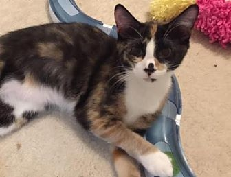 Domestic Shorthair Kitten for adoption in Herndon, Virginia - Josephine